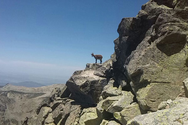 Es muy habitual encontrar cabras en el ascenso al Almanzor